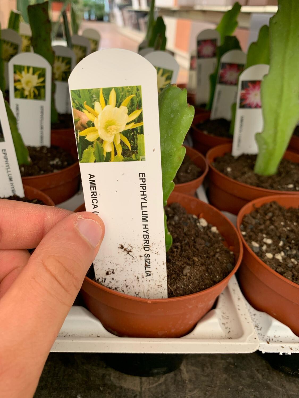 LINGUA DI SUOCERA - EPIPHYLLUM vaso cm 10,5 SIZILIA (fiore giallo)