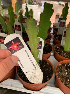 LINGUA DI SUOCERA - EPIPHYLLUM vaso cm 10,5 IRETTE ( fiore rosso fucsia)