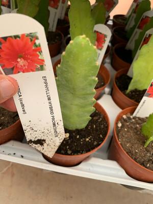 LINGUA DI SUOCERA - EPIPHYLLUM vaso cm 10,5 PROMETHEUS ( fiore rosso)