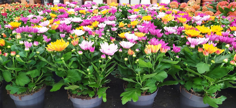 Crisantemo/Sancarlino in vaso 12 cm