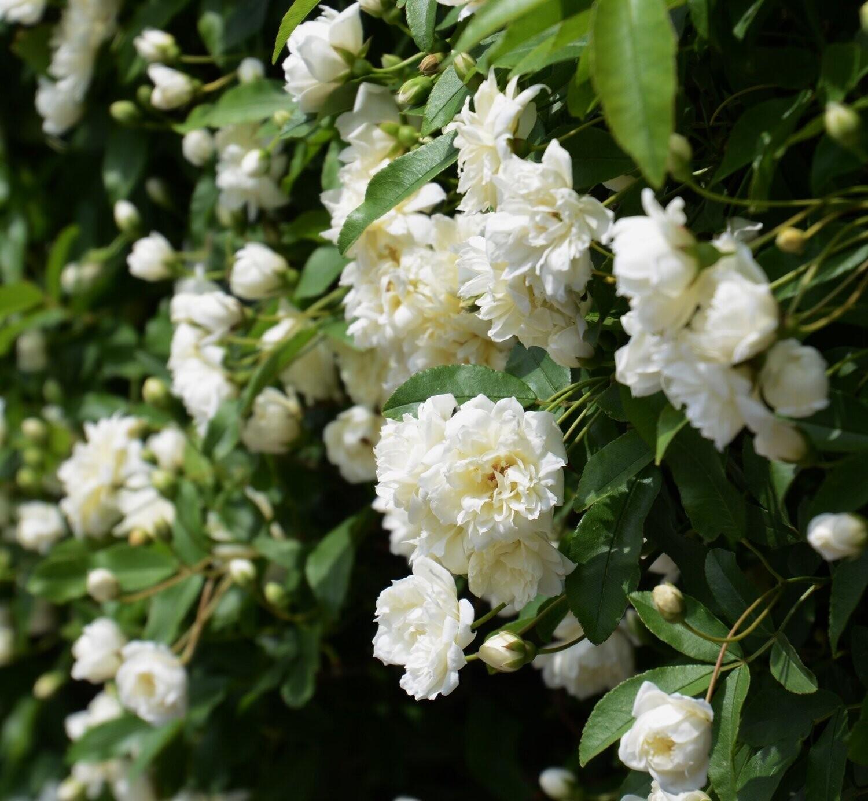 Rose Banksie Banksia BIANCA v18 h 120