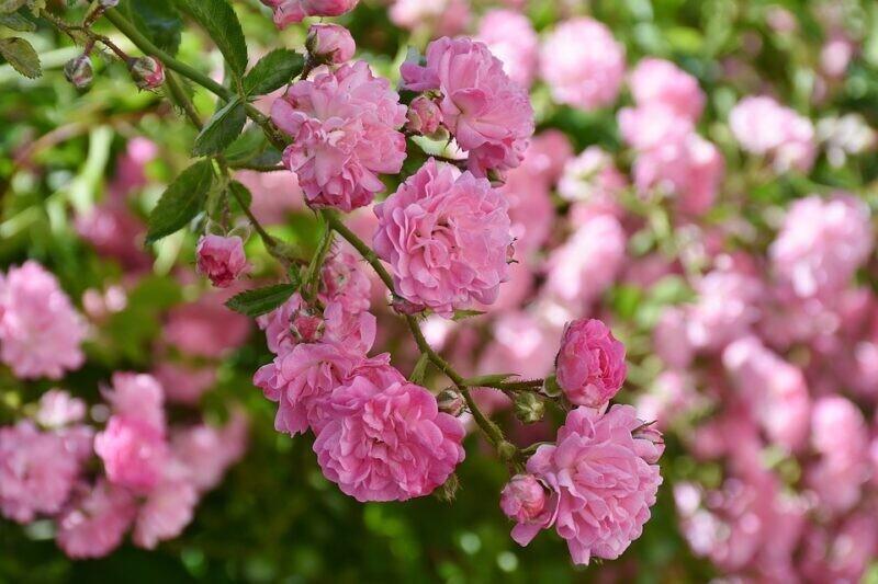 Rose Banksie Banksia ROSEA (rosa) v18 h 120