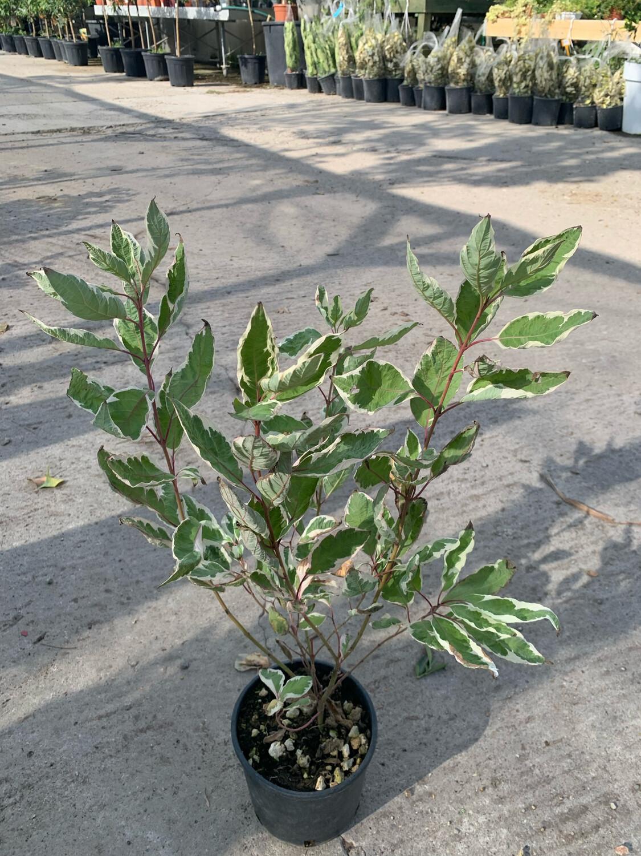 Cornus Alba Elegantissima vaso 15