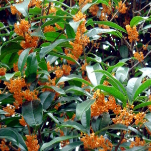 Osmanthus aquifolium AURIANTICUS  v18 h 50-60
