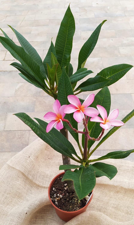 Plumeria Pomelia Frangipani vaso 17 (colore fiore nella foto del cartellino) ibrido 8