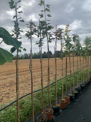 ALBERO - Acer platanoides / Acero riccio - vaso 26 h 180/200 INCANNATO