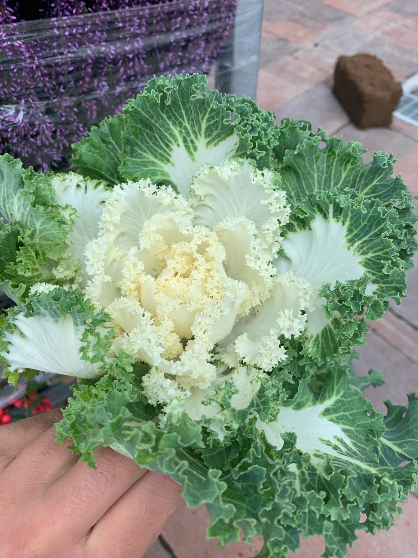 Brassica Cavolo ornamentale vaso 12