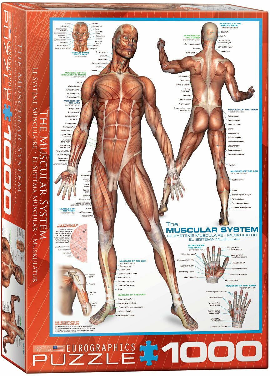 PUZZLE 1000 pcs- Sistema Muscular - Eurographics