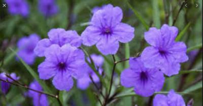 "10"" Mexican Petunia - Purple"