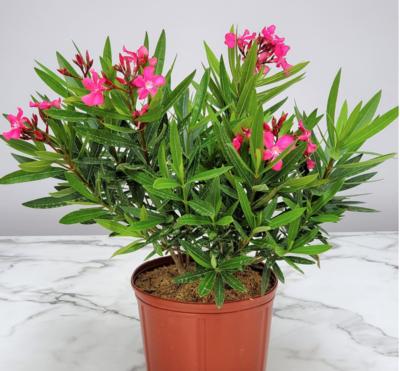 """10"""" Oleander - Pink"""
