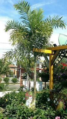 30 Gal Foxtail Palm