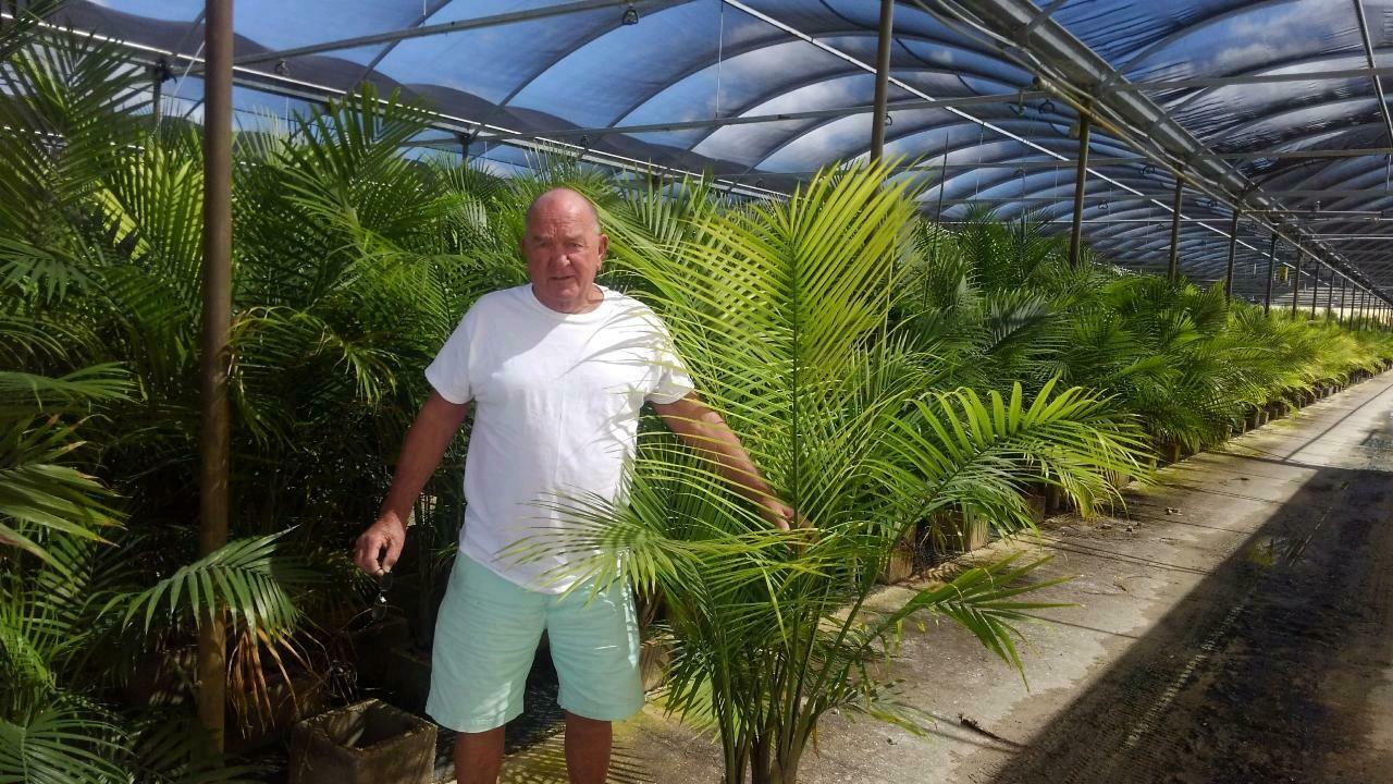 "10"" Roebelleni Palm"
