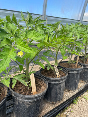 Plant Tomato Big Beef