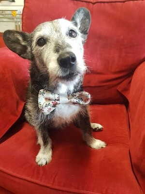 Doggie Bowtie