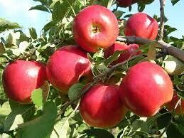 Jersey Crimson Crisp Apples