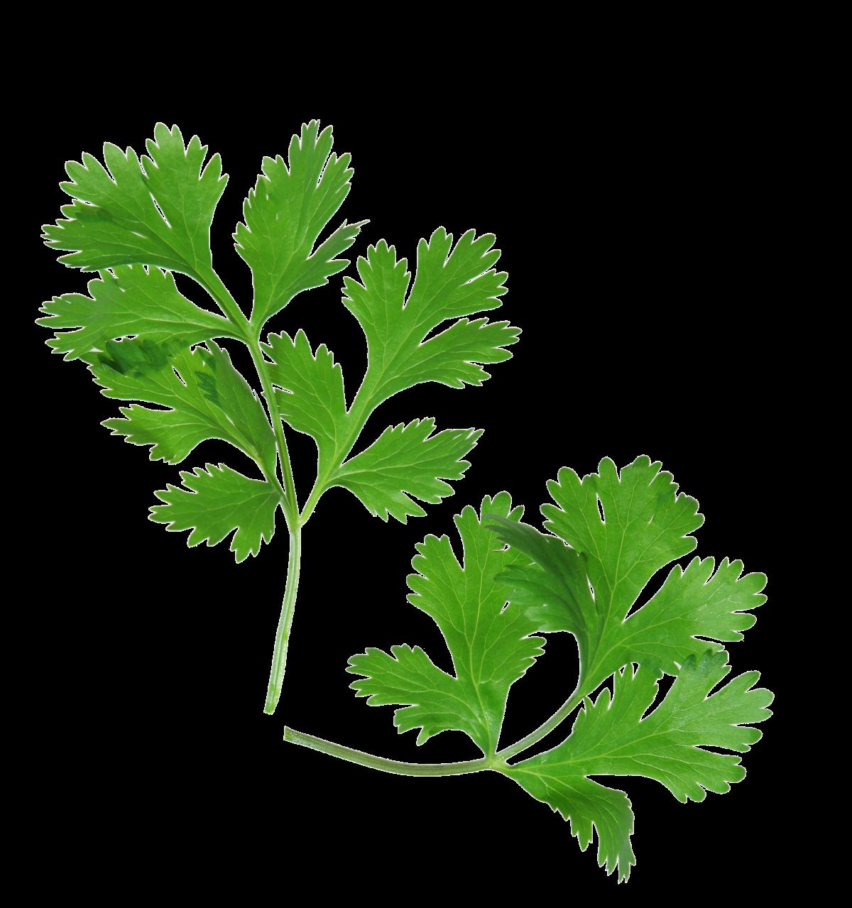 Heirloom Coriander - Cilantro - Herb - Individual Seed Pack