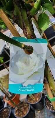 Rosal de copa