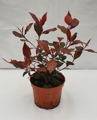 Photinea Frasserii Red Robin