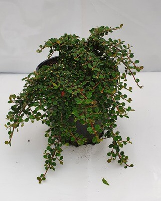 COTONEASTER REPENS