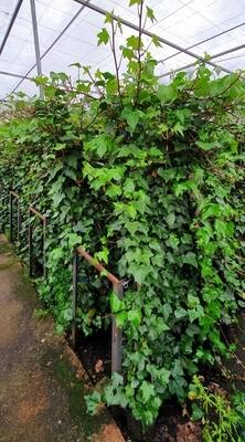 Hiedra verde de Irlanda