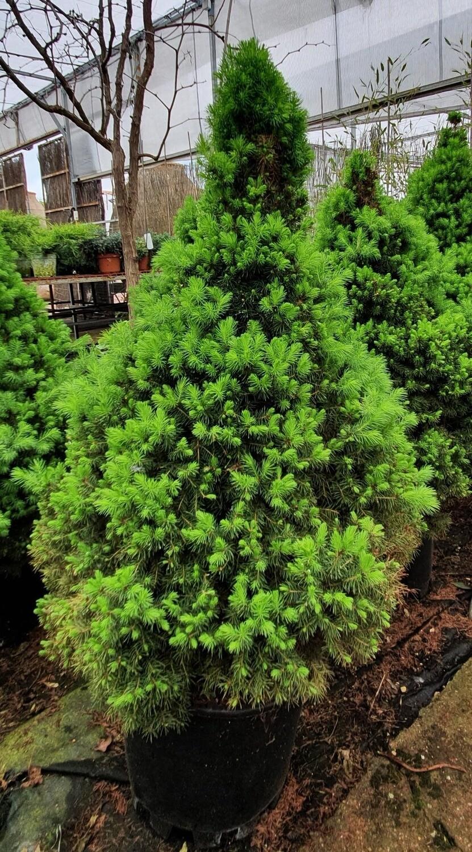 Picea Albertiana Glauca Conia