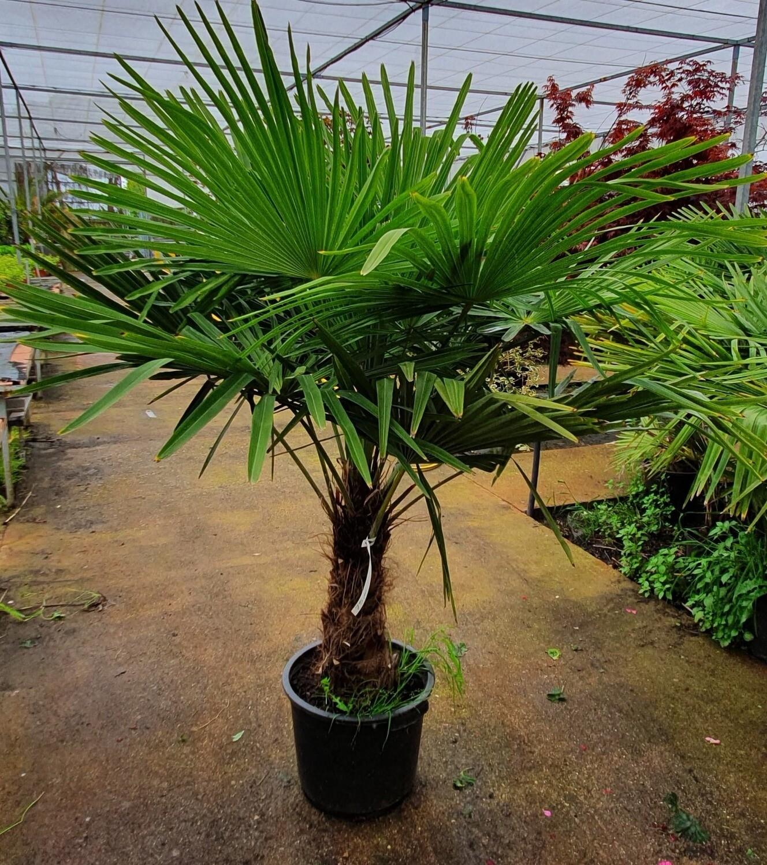 Trachicarpus Fortuney