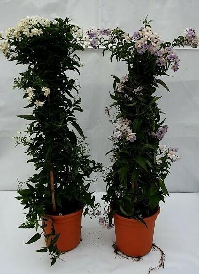 Solanum Jazinoides