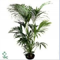 KENTIA (HOWEA FOSTERIANA)