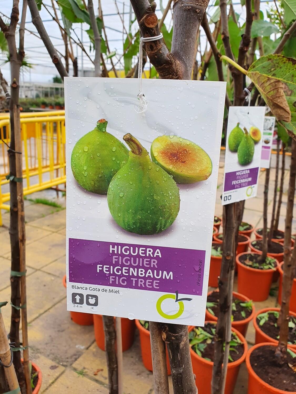 HIGUERA GOTA DE MIEL