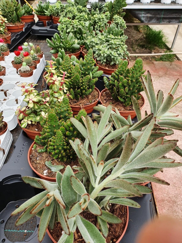 COLECCION PLANTAS CRASAS