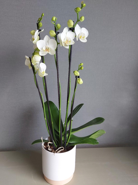 Orchidées Phalaénopsis Blanche 5 branches + pot Blanc fond beige