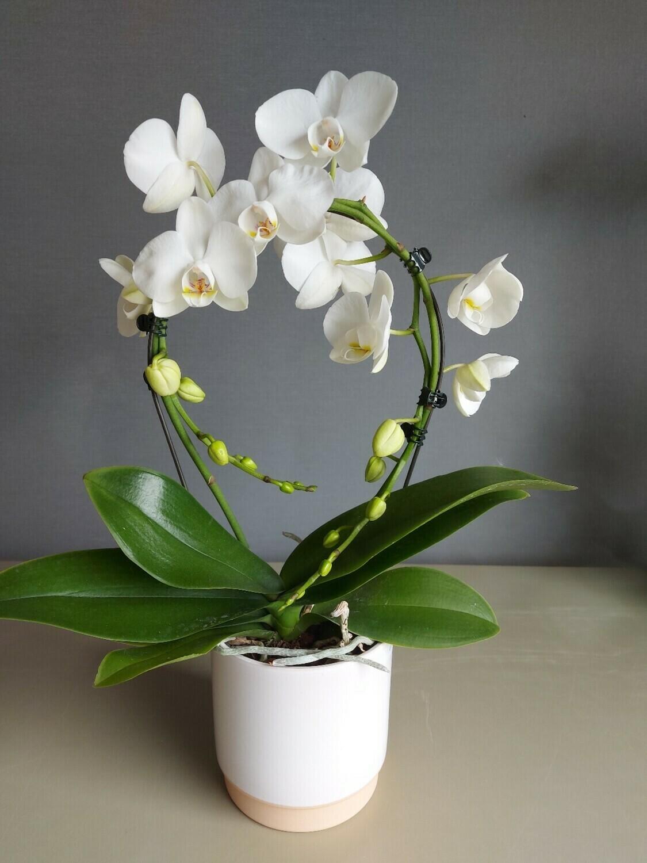 Orchidées Phalaénopsis Blanche miroir + pot Blanc fond beige