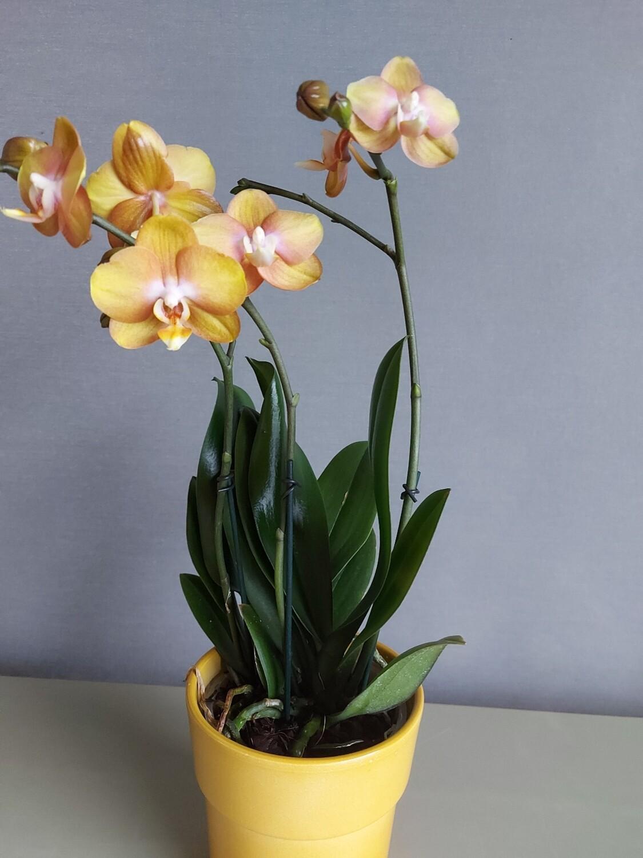 Orchidées Phalaénopsis petite fleurs+ pot ocre