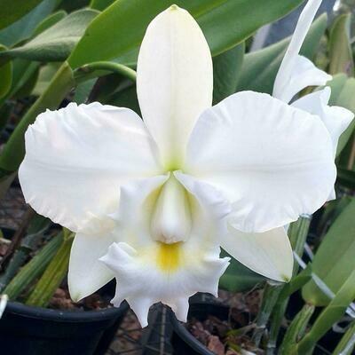 C. mossiae alba Ext x C. walkeriana alba Ext