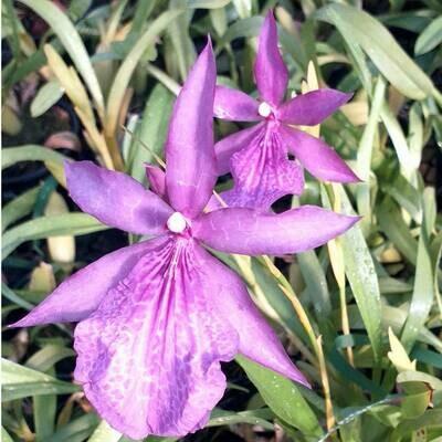 Milt. spectabilis mooreliana x Bealara Tahoma Gracier