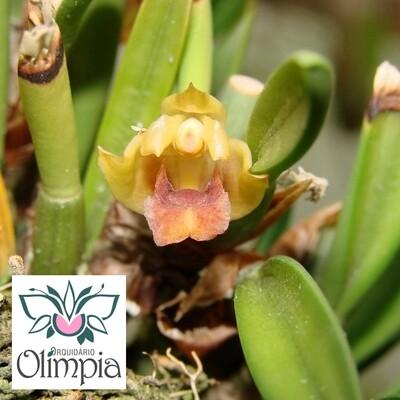 Maxillaria plebeja