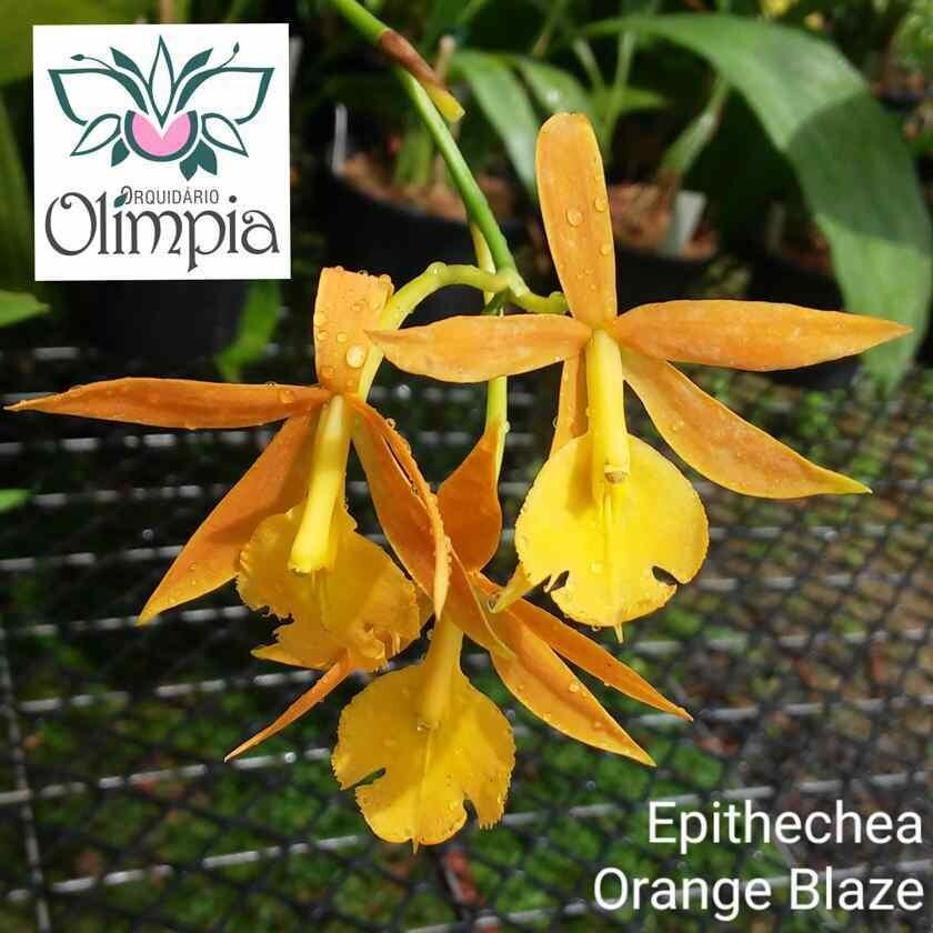 Epithechea Orange Blaze (Epi. Morning Star x Epi. Cinnabarinum)