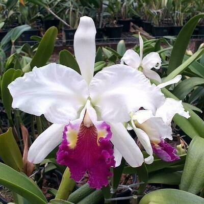 "C. gigas s/alba x C. lueddemanniana s/alba ""Cerro Verde"""