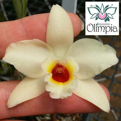 "(C. Chocolate Drop x L. briegeri) x Blc. Nobiles ""Bruno Bruno"""