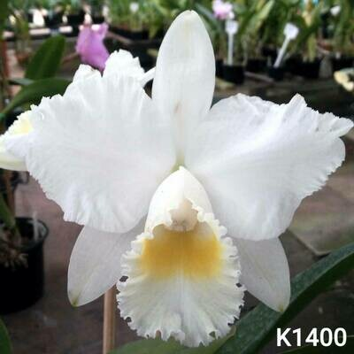 Blc. Hawaiian Wedding Song