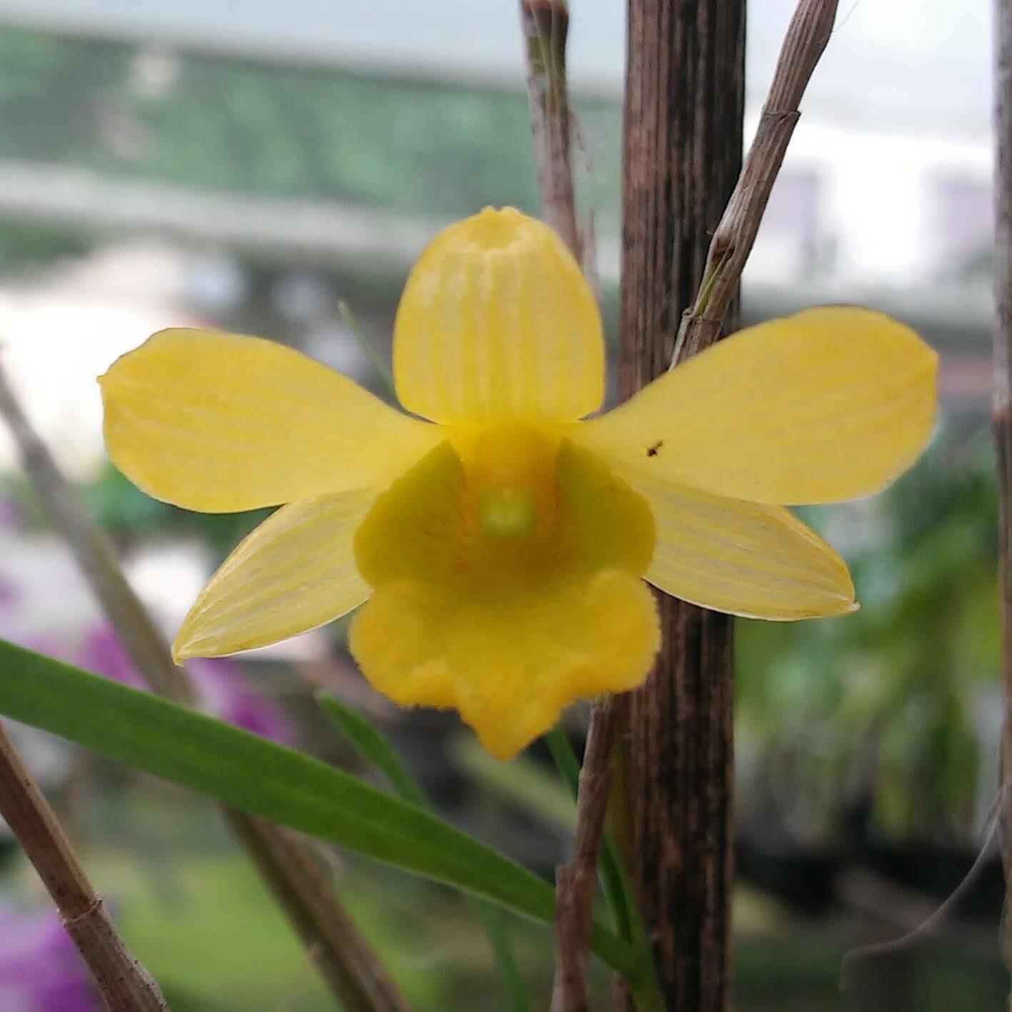 Dendrobium hancockii sibling