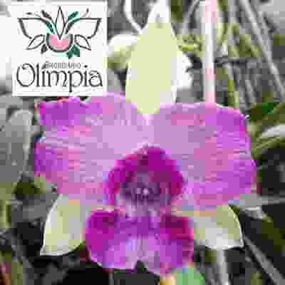 Cattleya hibrida coerulea