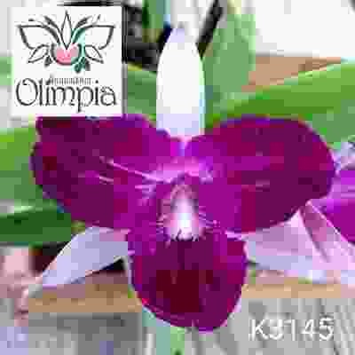 "Cattleya Dark Blue ""Olimpia"""