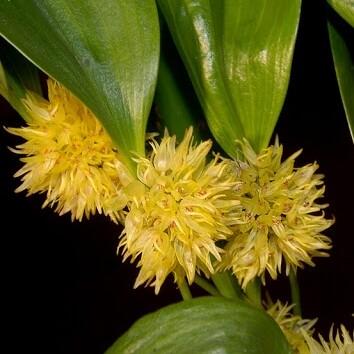 Pleurothallis chloroleuca