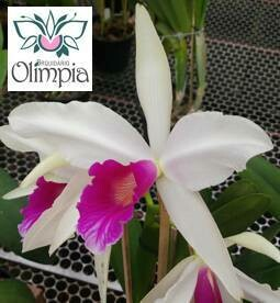 "L. purp. roxo bispo atro esc esc esc x ""Olimpia"""
