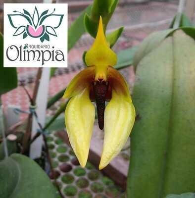 Bulbophyllum carunculatum (amplebracteatum)