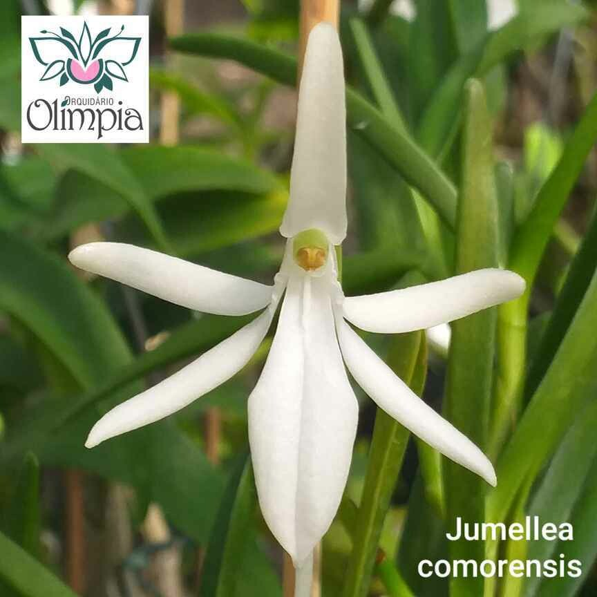 Jumellea (Aeranthes) comorensis