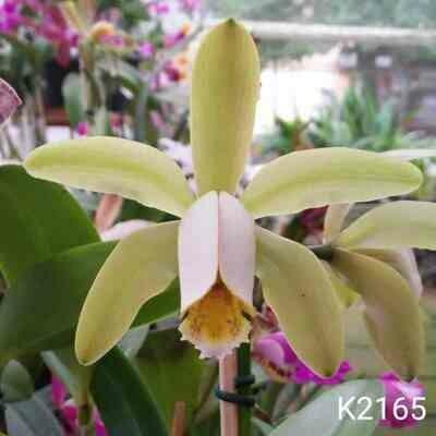 C. forbesii albino x C. forbesii verde Ext