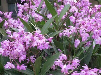 Dendrobium kingianum - CHEIRO DE MEL