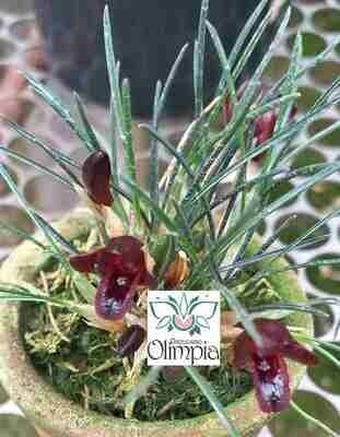 Maxillaria juergensii (Christensonella cogniauxiana)